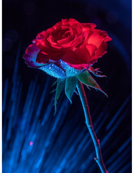 Portrait d'une rose. Photo Art galerie Fot'Océane - Photo collection Flum