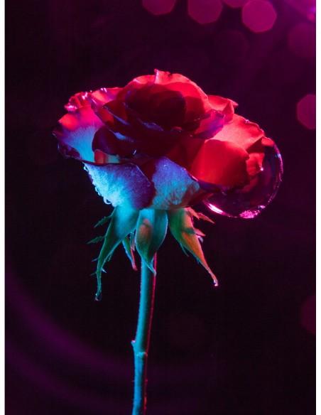 Portrait d'une rose. Photo Art galerie Fot'Océane - Photo collection Flum